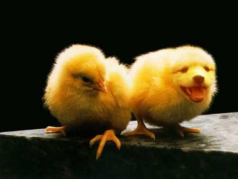 Imagenes chistosas de pollos - Imagui